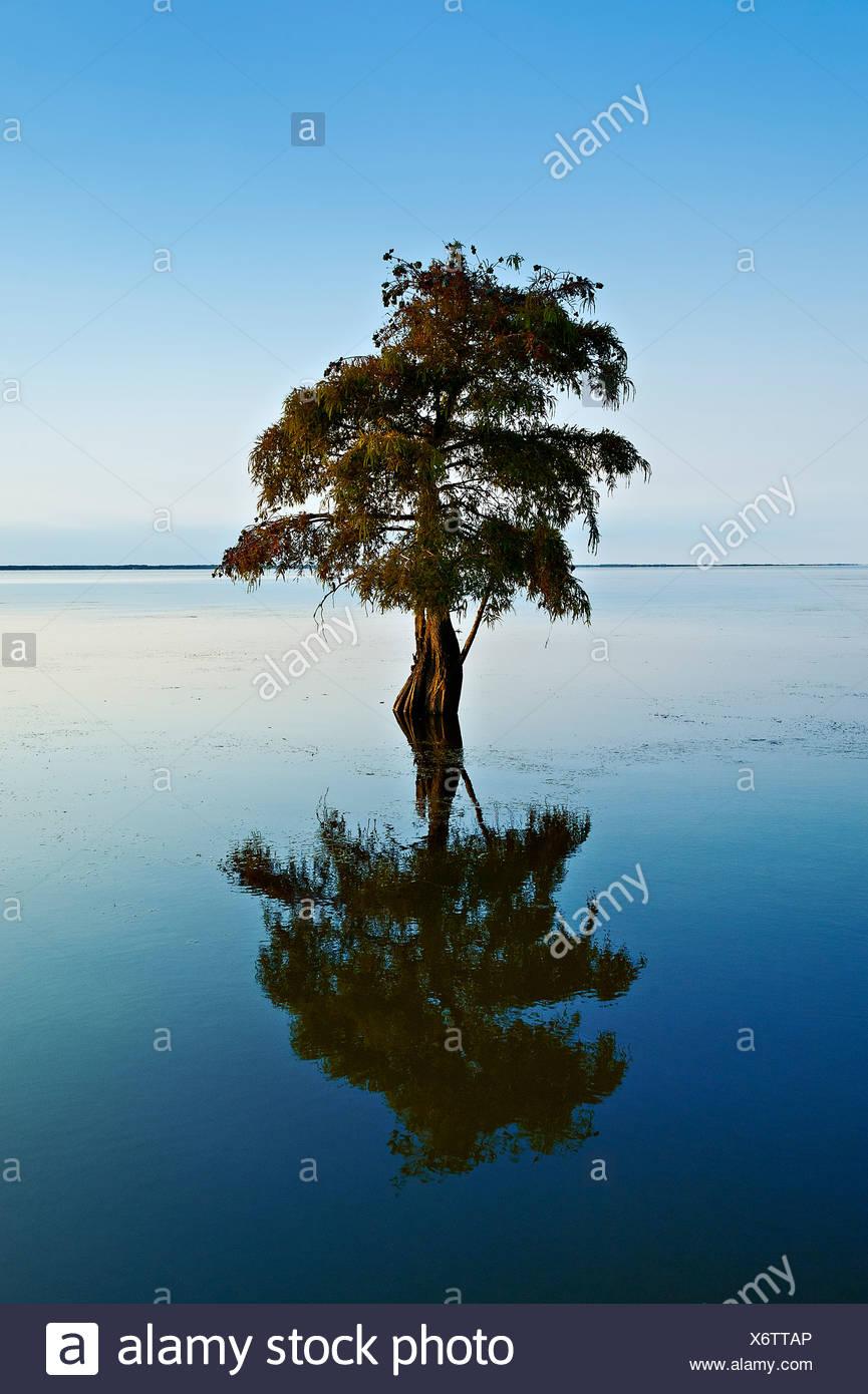 Lone cypress tree in brackish water, Taxodium distichum - Stock Image