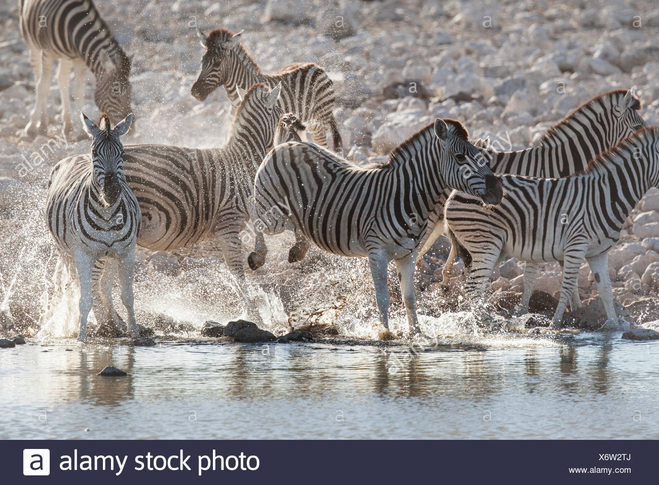 A zebra defends its place at the waterhole by bucking its hind legs. - Stock Image