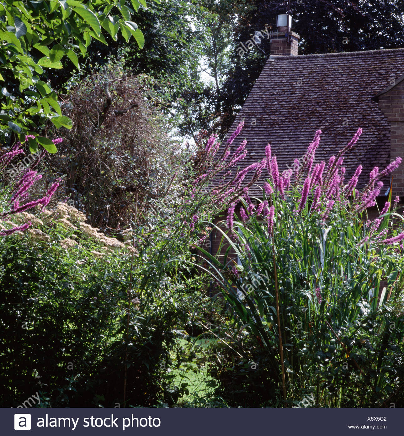 Tall Purple Flowering Perennials In Border Of Cottage Garden Stock