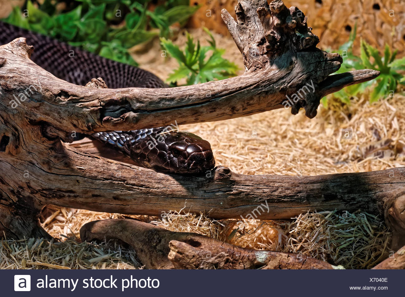 Snake In The Terrarium Black Mamba Stock Photo 279671630 Alamy