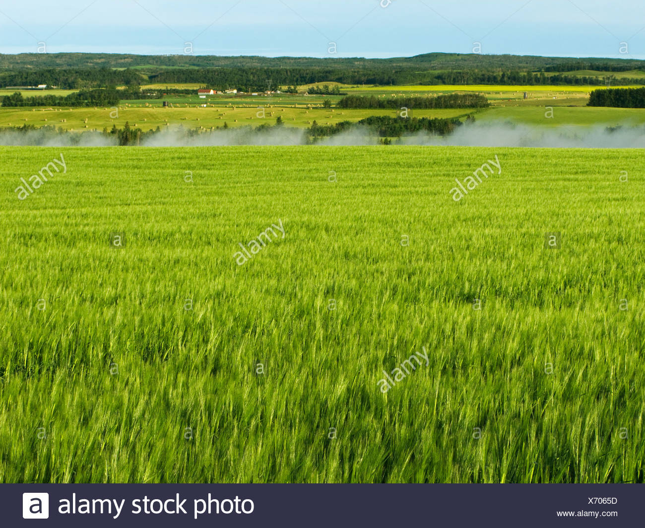 Maturing barley field along the Red Deer River with early morning fog rising up from the river valley / Alberta, Canada. - Stock Image