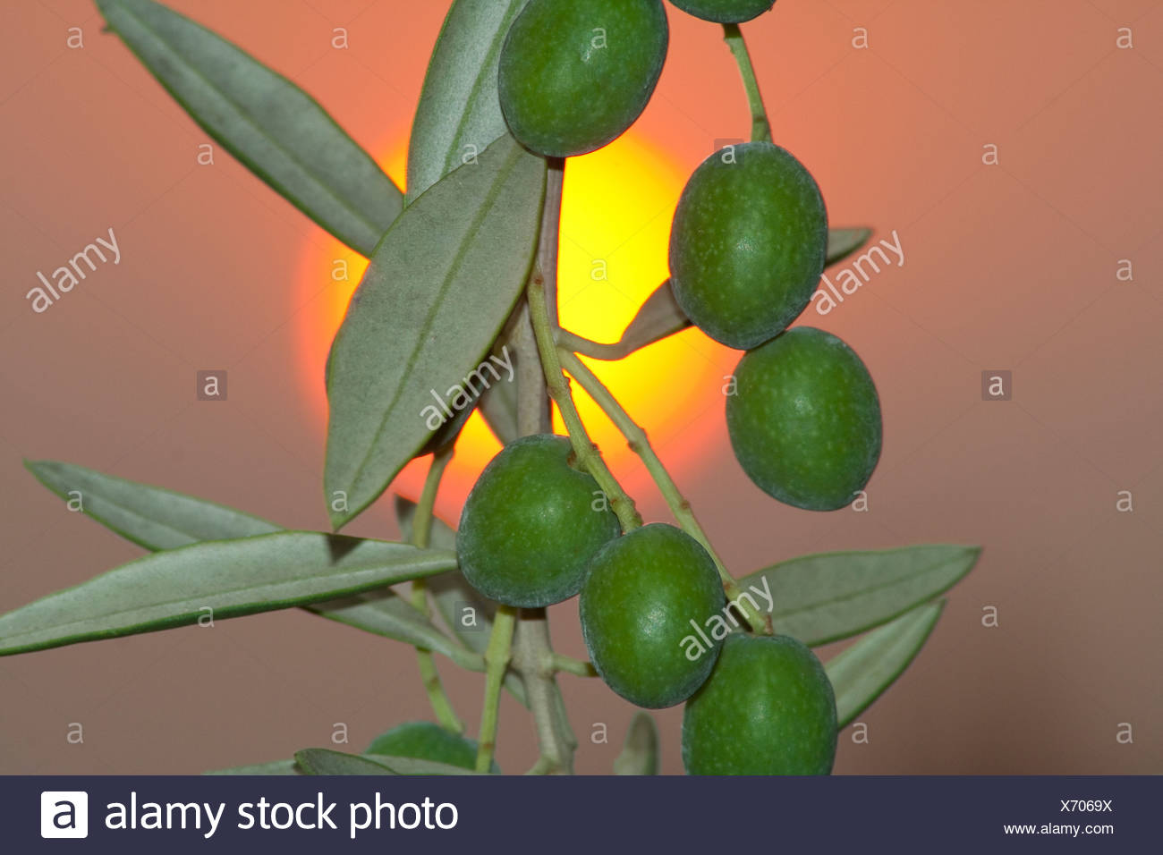 Manzanilla olives; aka Spanish olives, on the tree with the setting sun in the background / Tehama County, California, USA. - Stock Image