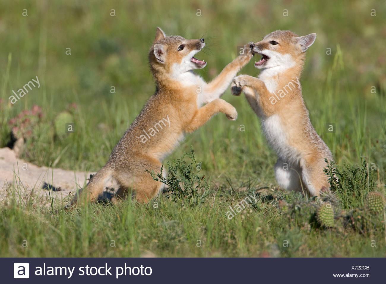 Swift fox (Vulpes velox), kits playing at den, near Pawnee National Grassland, Colorado. - Stock Image