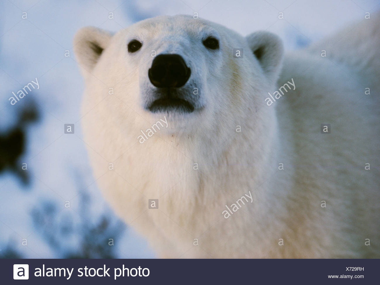 Polar bear, Churchill, Manitoba, Canada - Stock Image