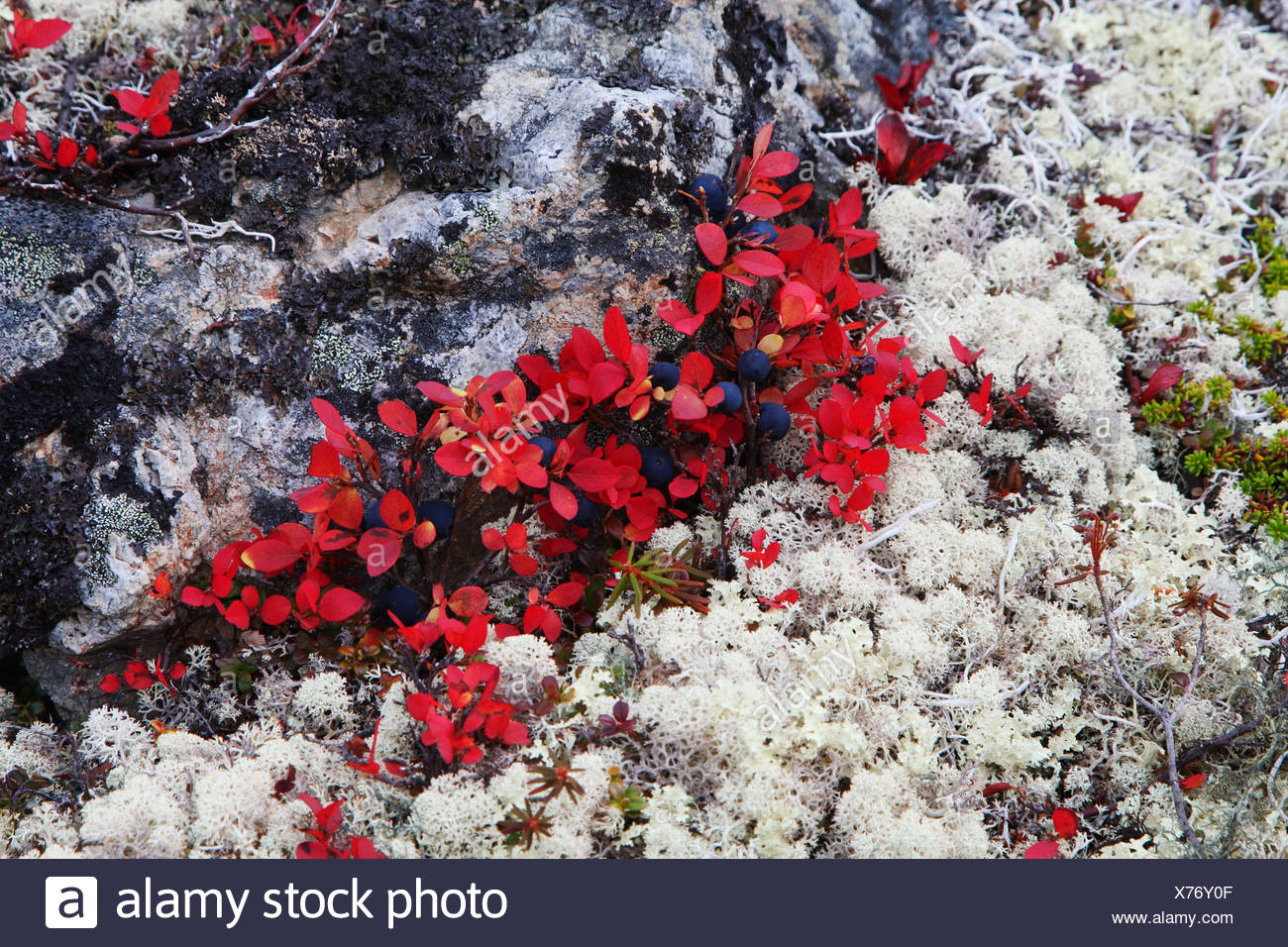 Alpine Bearberry Black Bearberry Arctostaphylos Alpina Reindeer - Alpina alaska