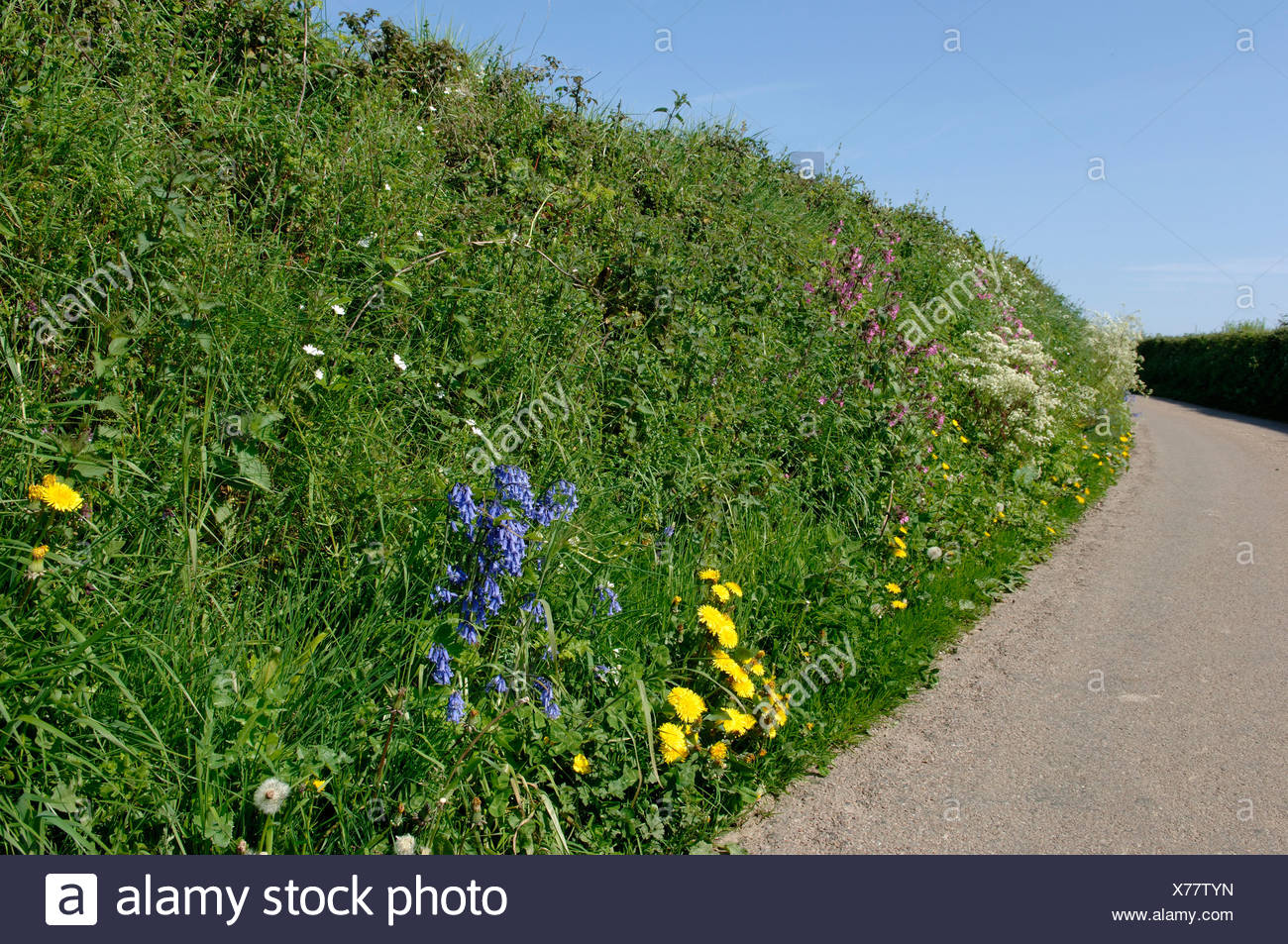 Devon Bank On A Country Road In Spring With Bluebells Campions Other