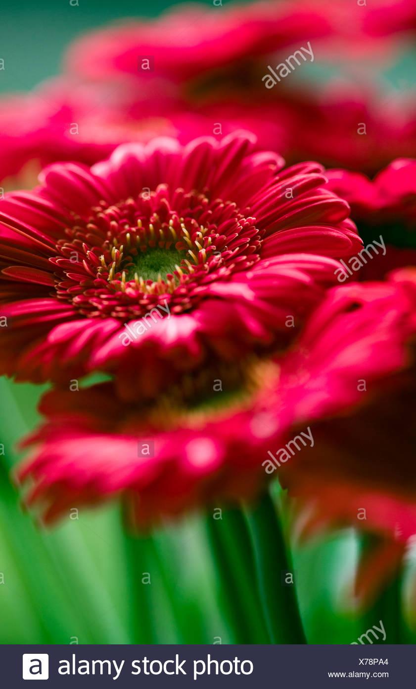 Red gerbera flowers close up - Stock Image