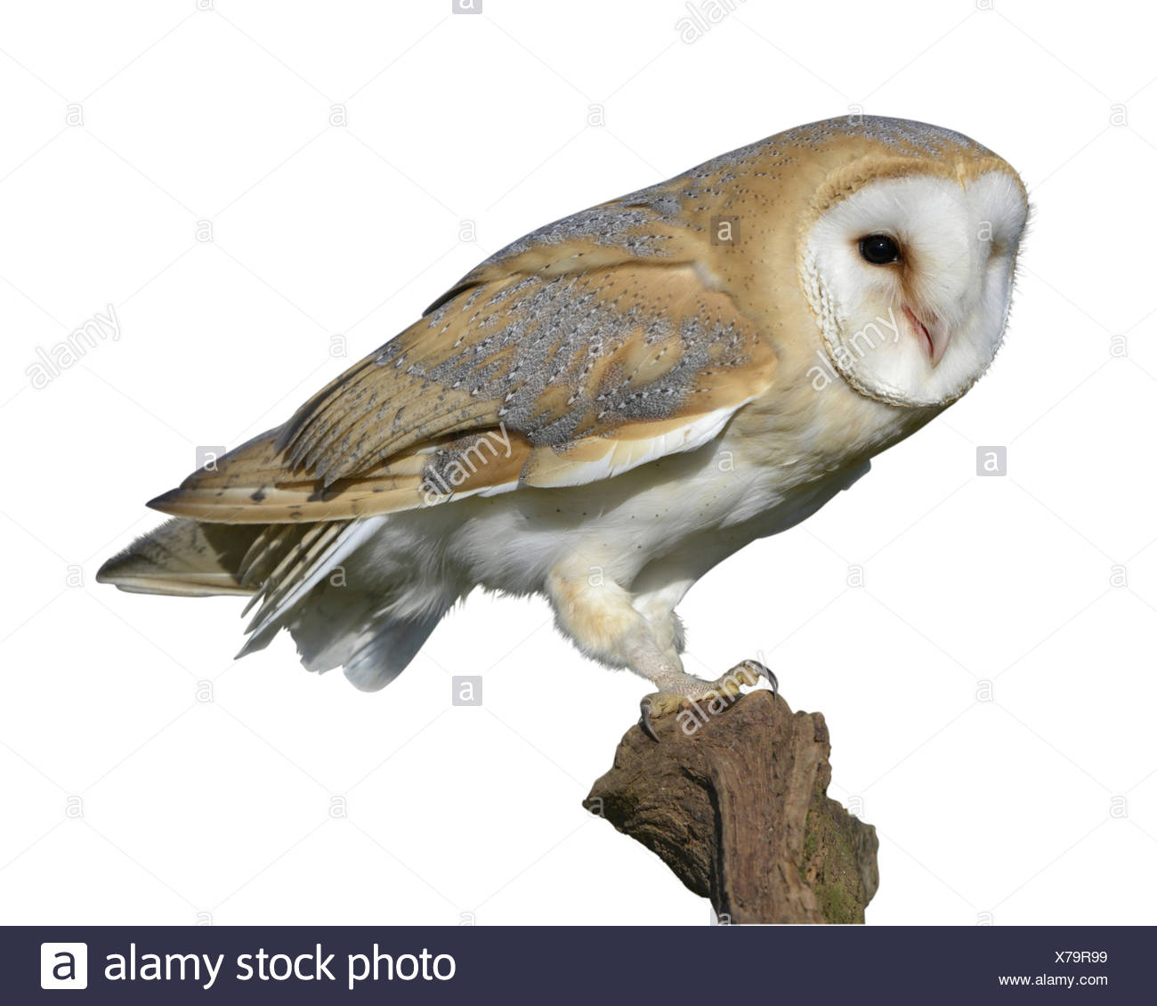 Barn Owl - Tyto alba - Stock Image