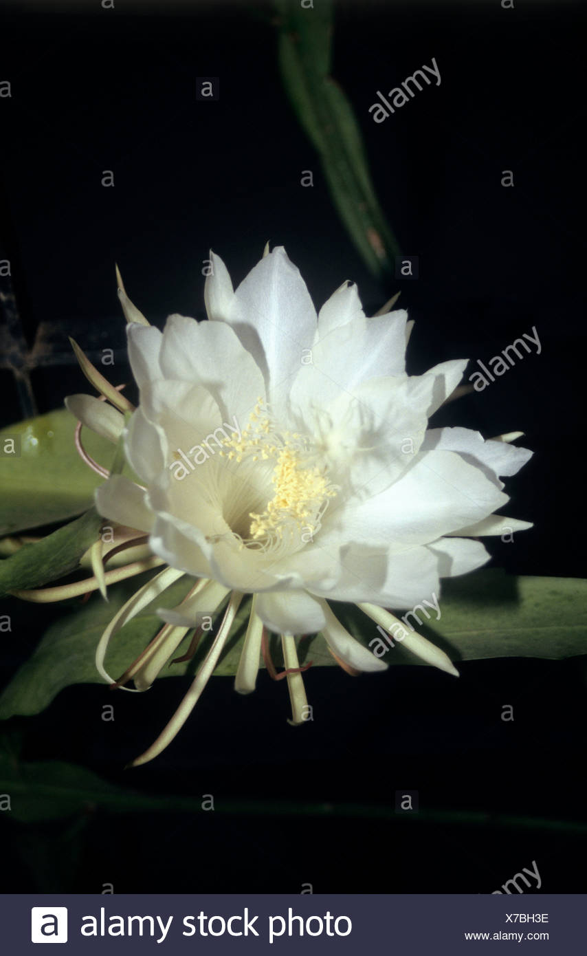 Why are night blooming flowers white images flower decoration ideas unique why night blooming flowers are white ensign best evening why night blooming flowers are white mightylinksfo