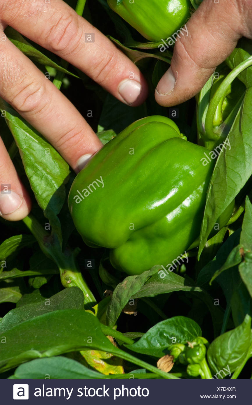 A farmer pulls the foliage back to show his ripe green bell peppers on the bush, ready for harvest / near Dixon, California, USA - Stock Image