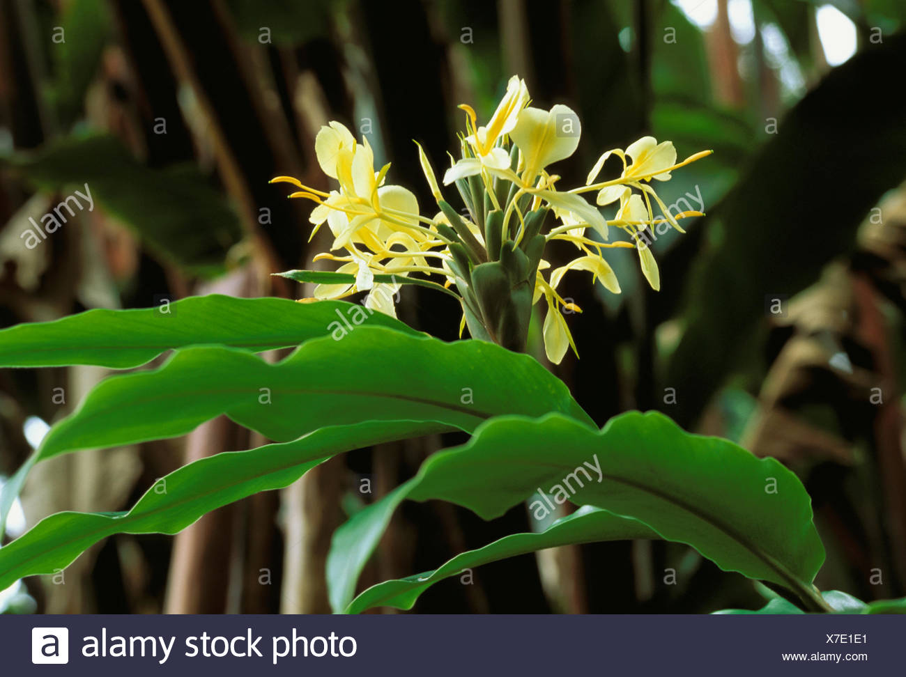 Close Up Sprig Of White Ginger Flowers On Plant Stock Photo