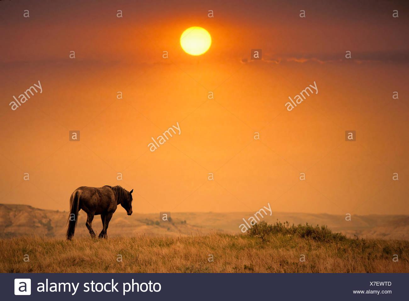 wild horse,Theodore Roosevelt National Park,North Dakota - Stock Image