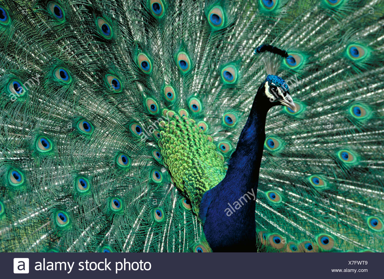 Peacock spreads his colorful tail feathers. - Stock Image