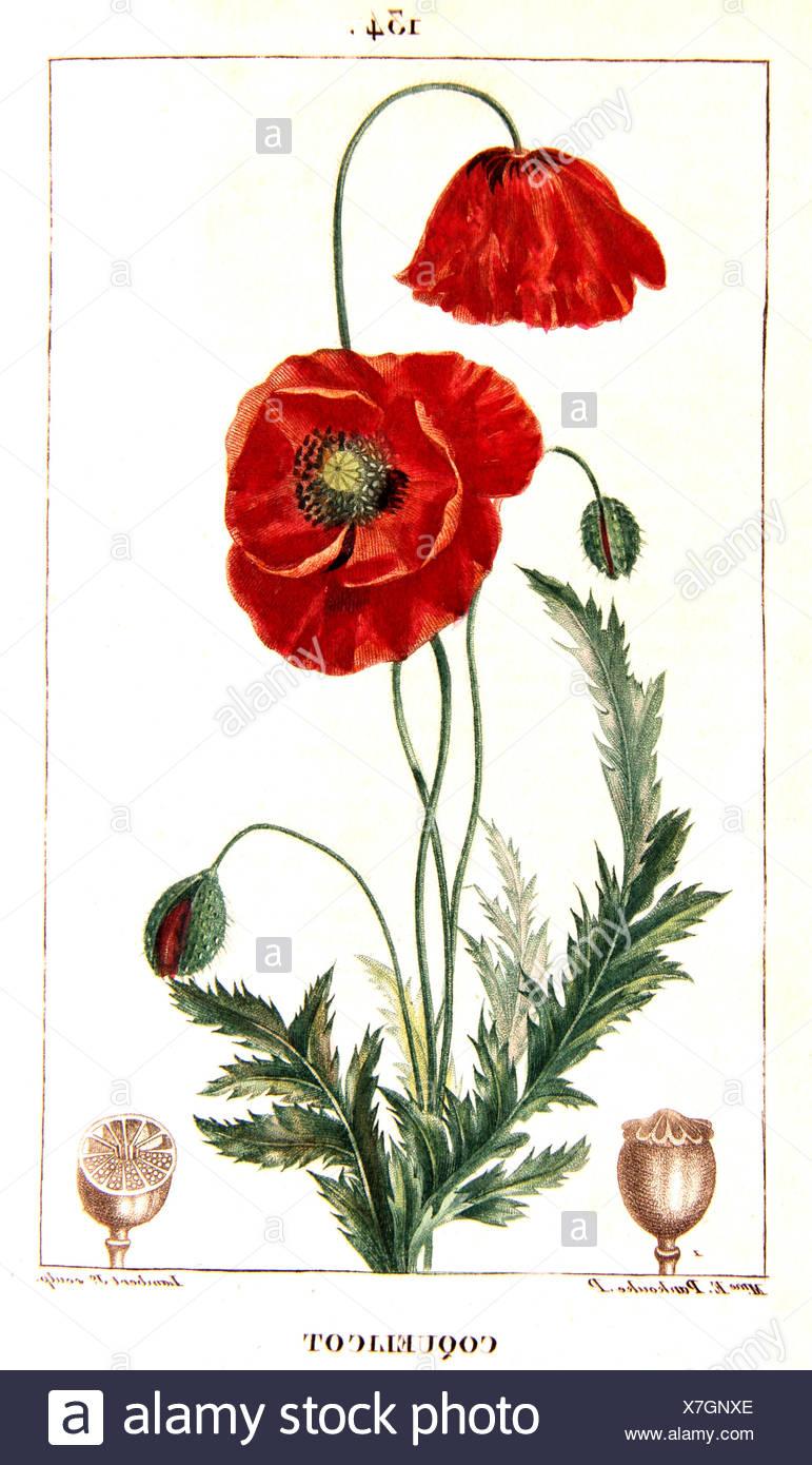 Botanical Drawing Of Corn Poppy Stock Photo 280036918 Alamy