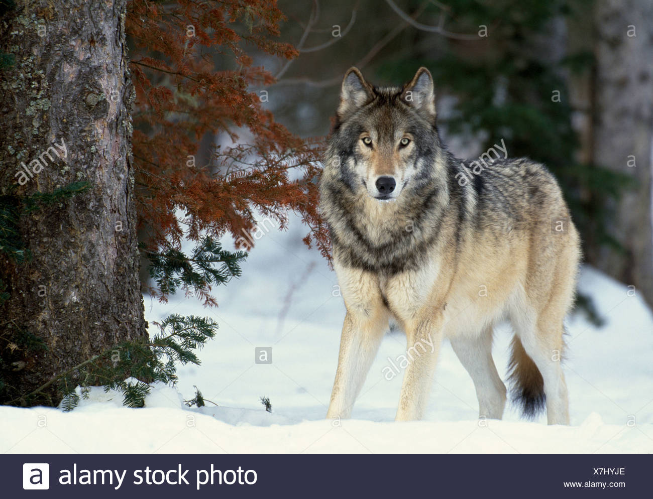 Grey wolf, Canada - Stock Image