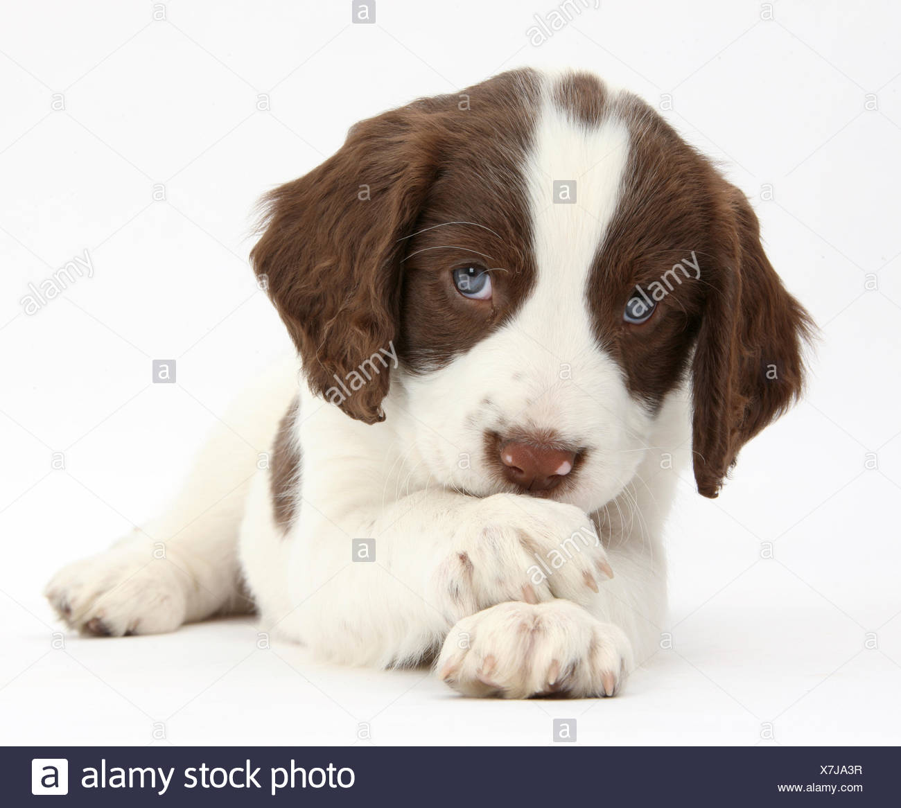 working english springer spaniel puppy 6 weeks lying with crossed