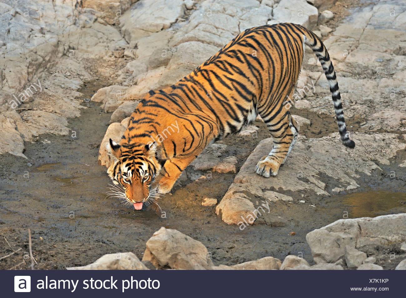 Tiger (Panthera tigris) at a rocky water hole in Ranthambore National Park, Rajasthan, India, Asia - Stock Image