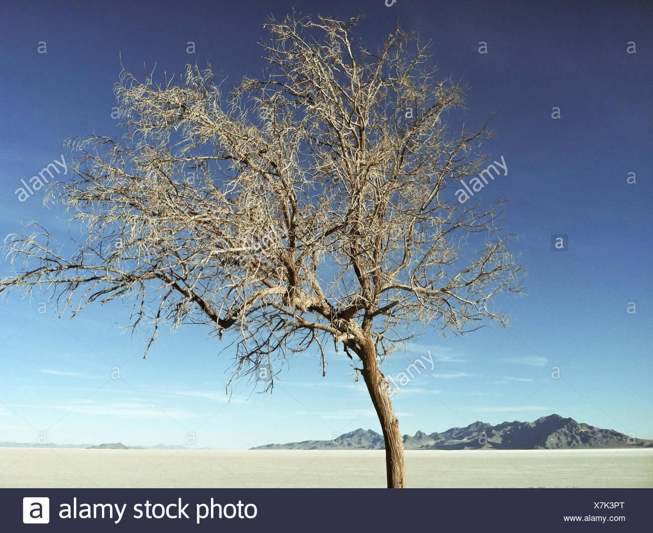 USA, Utah, Tooele, Great Salt Lake Desert, Bonneville Salt Flats State Park, Tree in desert - Stock Image
