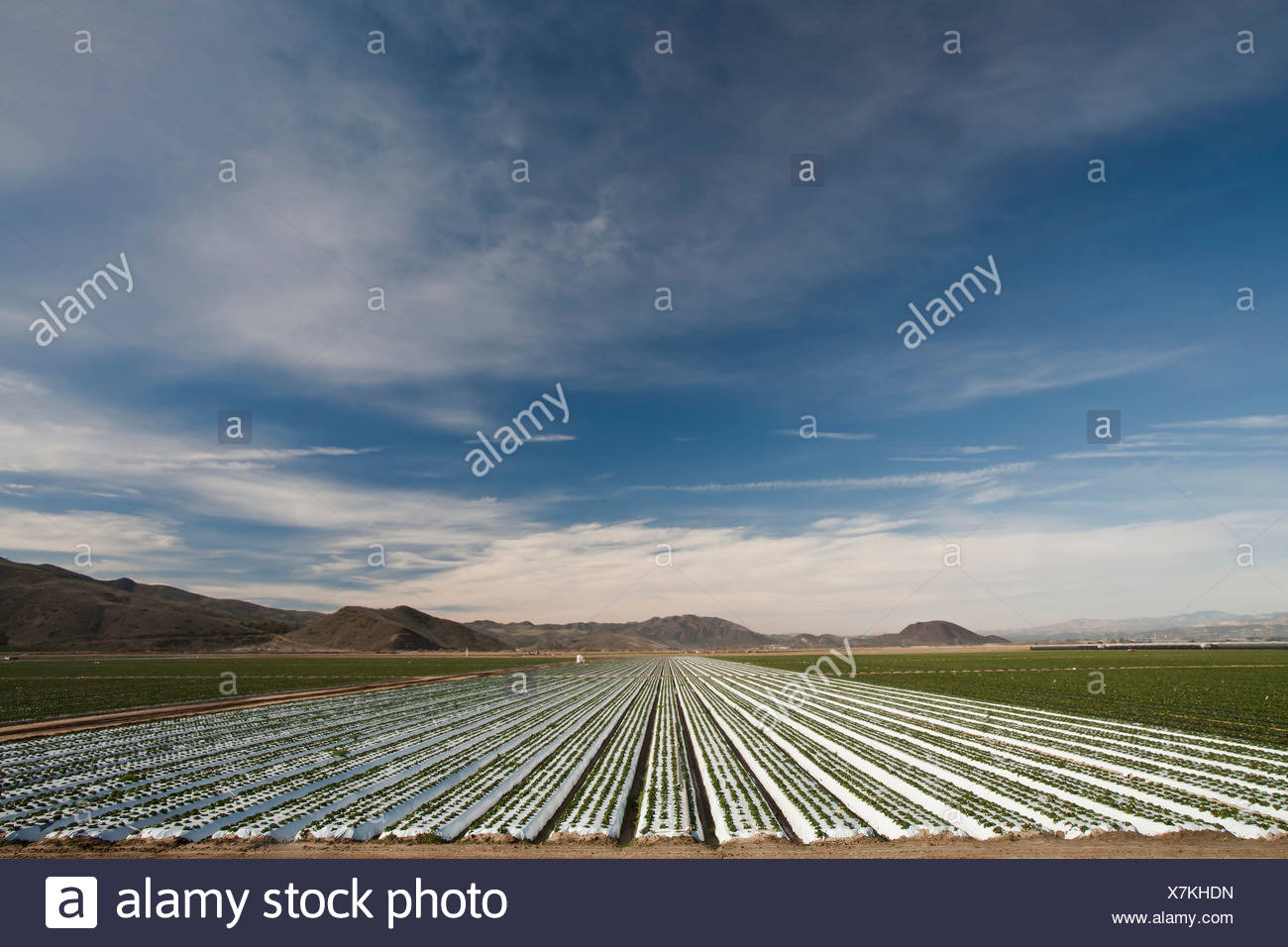 Rows of crops underneath plastic - Stock Image