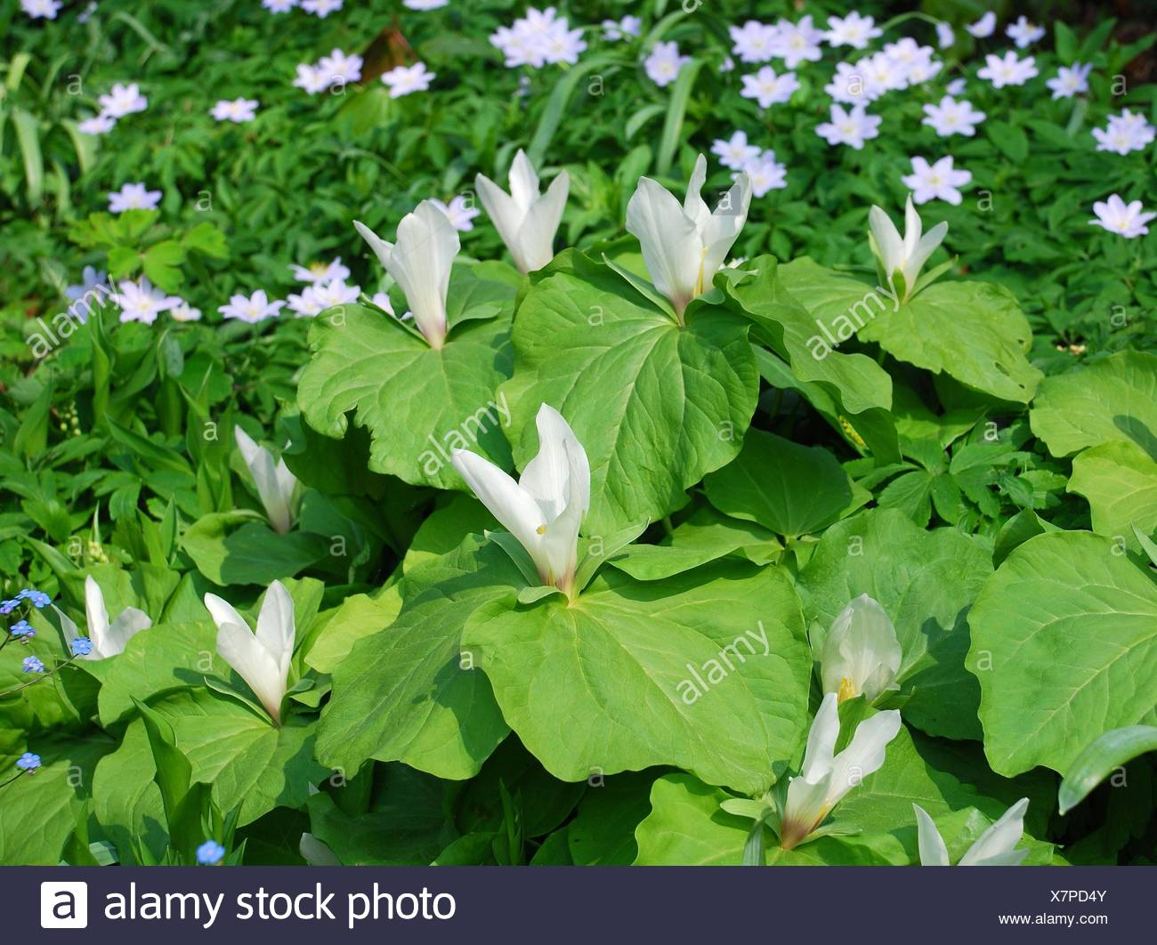 Trillium Group Of White Flowers And Big Green Leaves Stock Photo