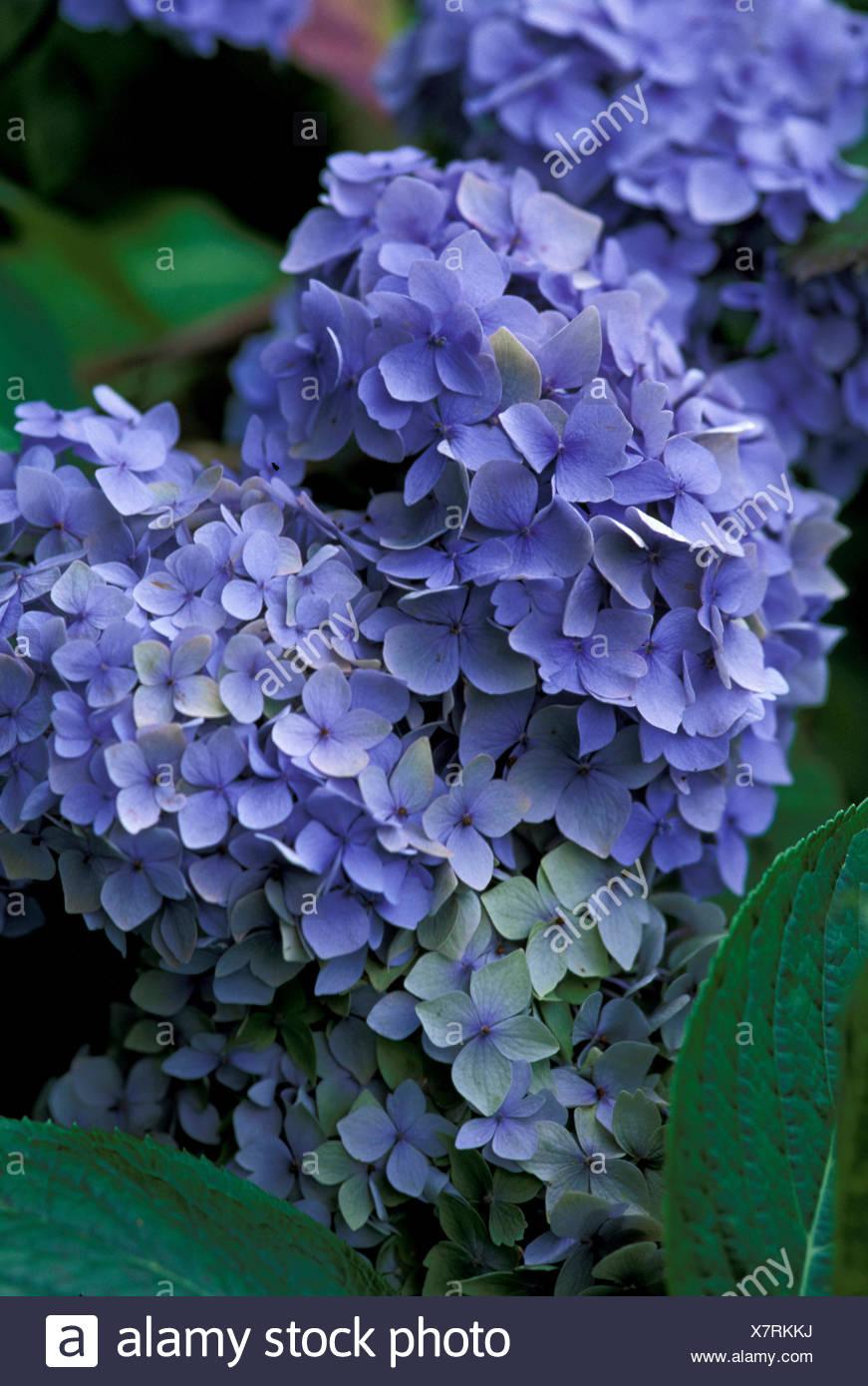Hydrangea Macrophylla Blue Bonnet Flowers Stock Photo 280188822 Alamy