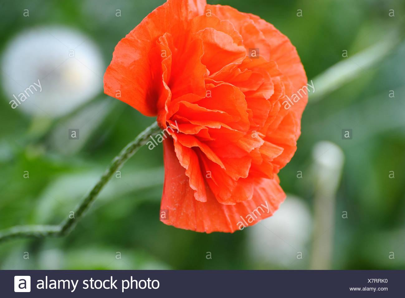 Birth Of A Poppy Stock Photo 280191940 Alamy