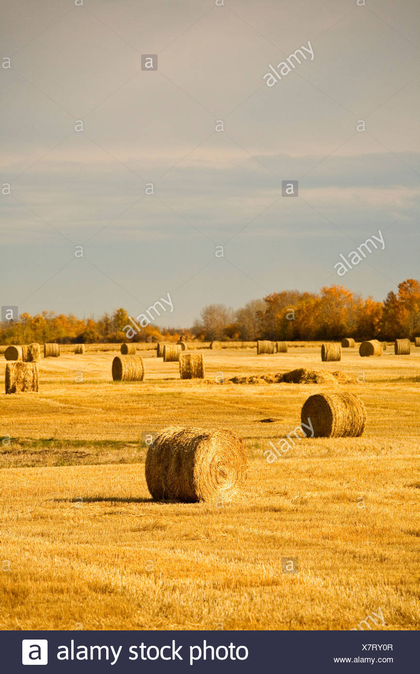 Hay bales in field - Stock Image