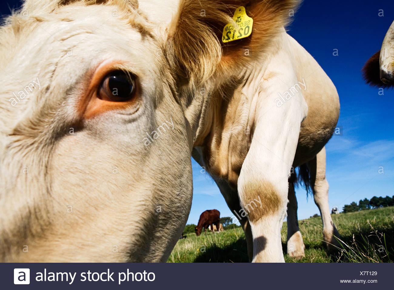 Cattle grazing, Sweden. - Stock Image