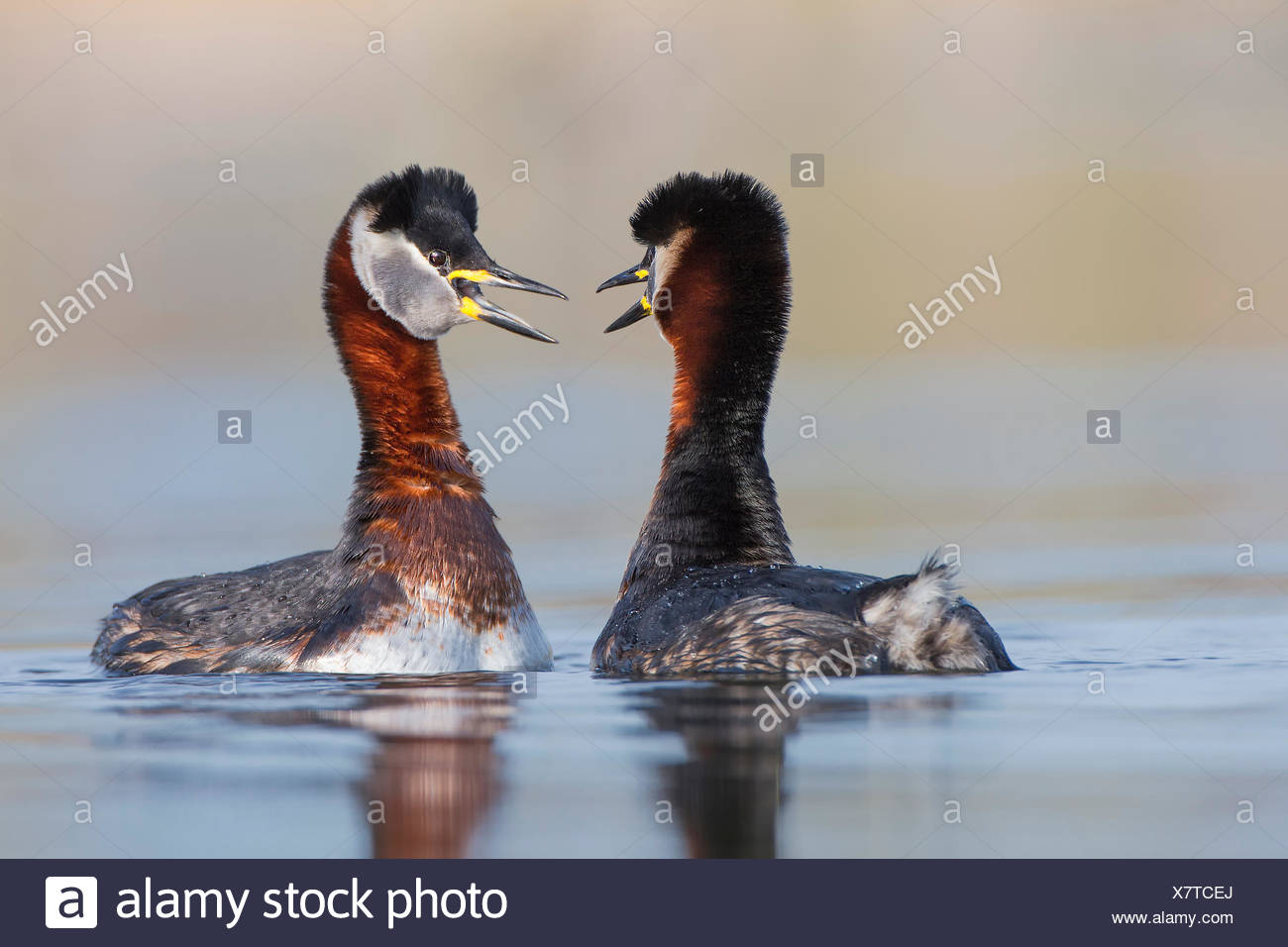 Red-necked Grebes (Podiceps grisegena), male and female, pair, courtship, breeding plumage, Mittelelbe biosphere reserve - Stock Image