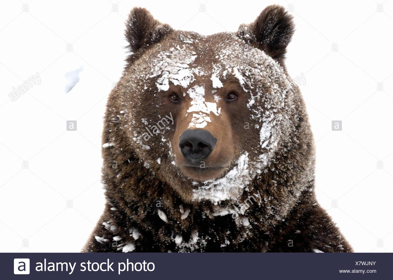 Brown bear European bear European brown bear predator Ursus arctos bear Ursus winter snow winter bear Sneaking animal animals, - Stock Image