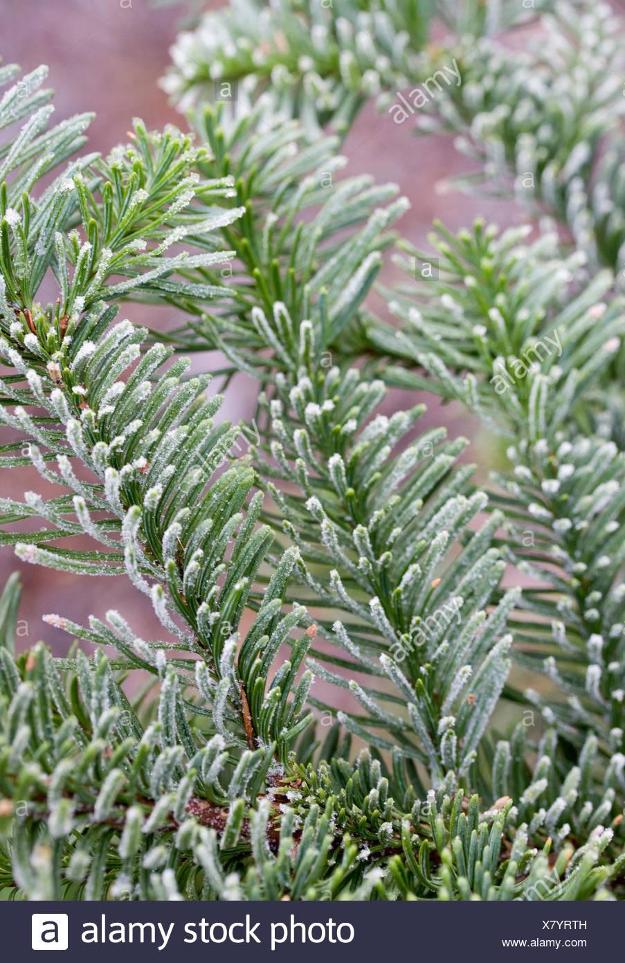 ABIES PROCERA (NOBLE FIR) THE CHRISTMAS TREE FARM HAWKWELL Stock ...