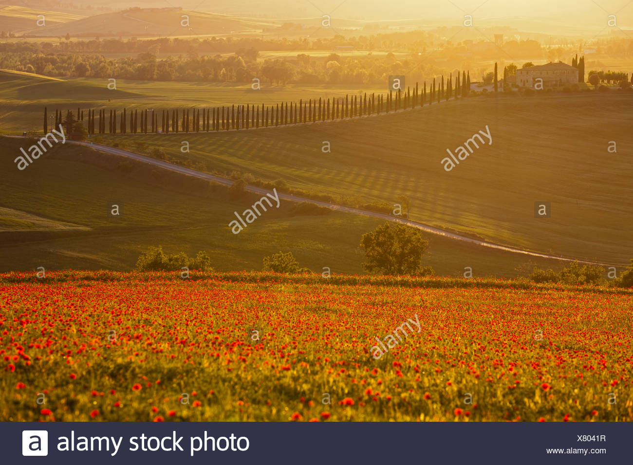 Italy, Tuscany, Crete, View of poppy field in front of farm with cypress trees at sunrise - Stock Image