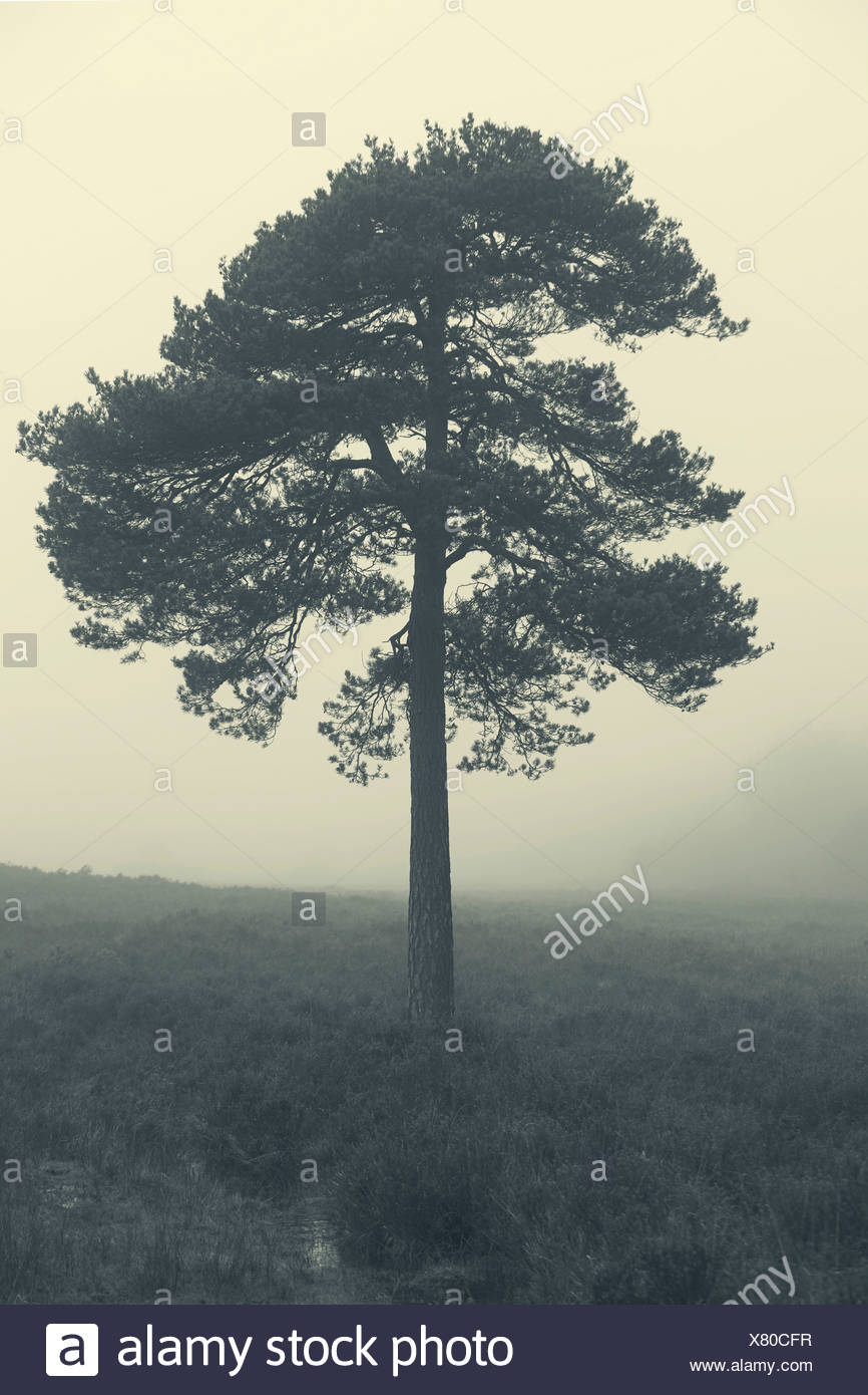 Tree in mist at dawn, New Forest, Hampshire, UK - Stock Image