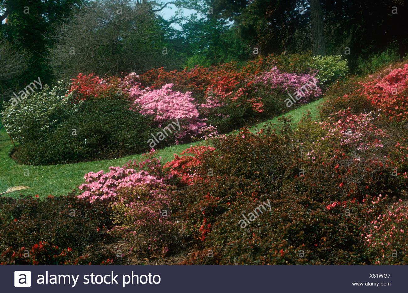 Garden Azalea in flower Kew Gardens Stock Photo: 280325143 - Alamy