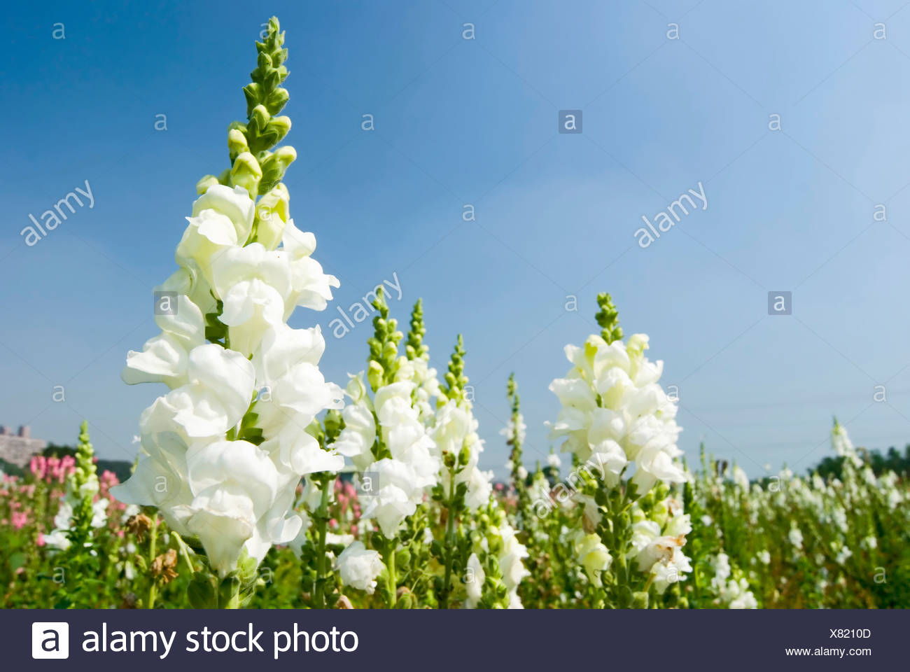 White Snapdragon Flowers Under Blue Sky Stock Photo 280327837 Alamy