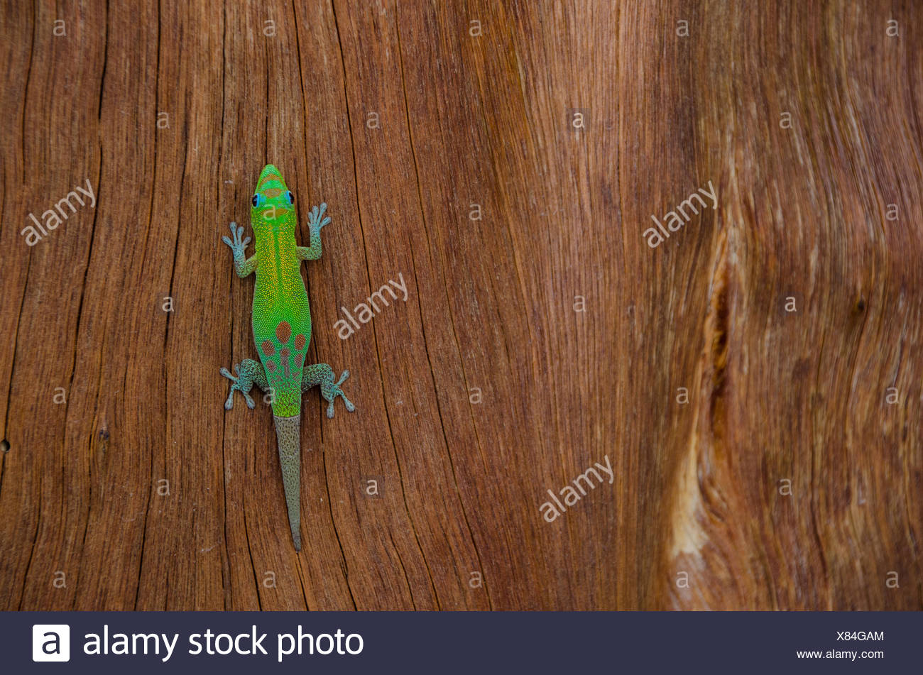 An orange-spotted day gecko, Phelsuma guimbeaui, rests on a brown log. - Stock Image