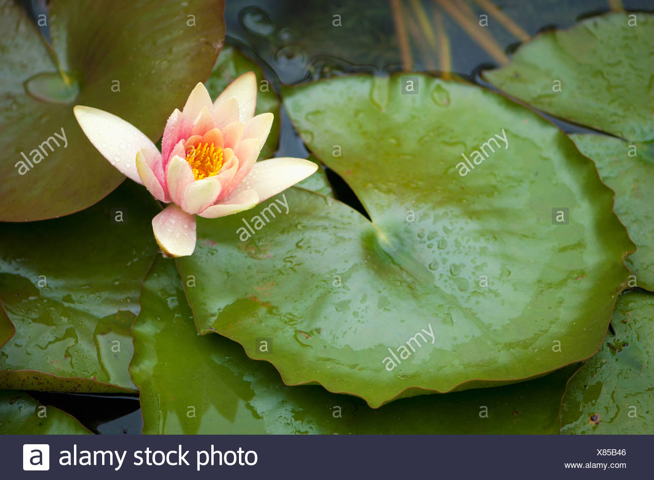 Pink lotus flowers stock photos pink lotus flowers stock images lotus flower in the pond berkeley california united states of america stock izmirmasajfo Gallery