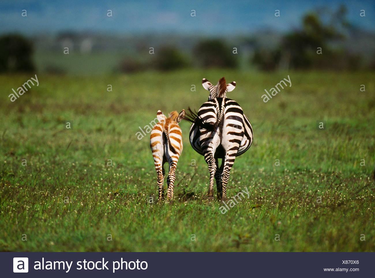 Grant's zebra and foal, Amboseli National Park, Kenya - Stock Image