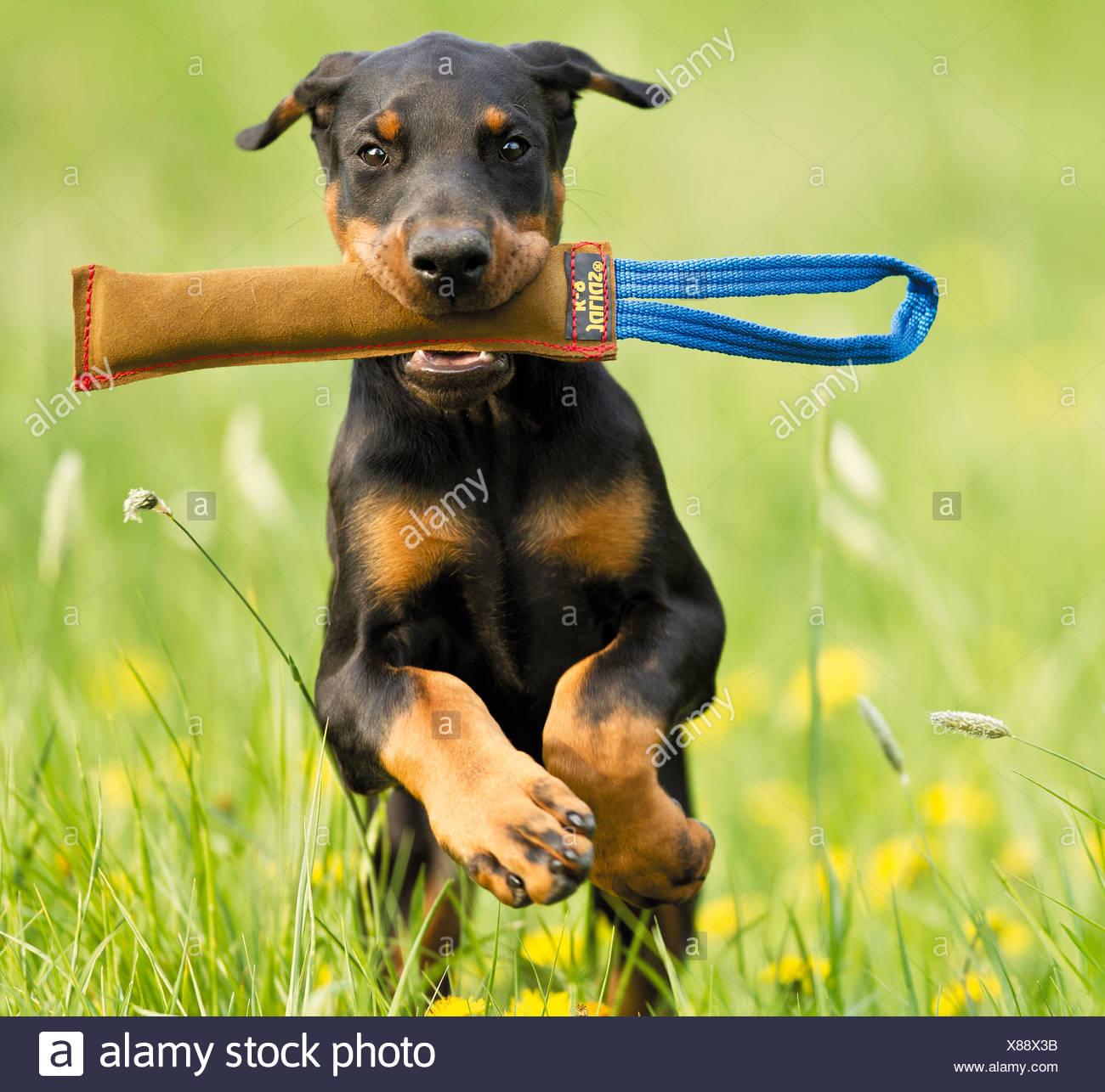 Doberman Pinscher Dog Puppy With Toy Stock Photo 280479231 Alamy