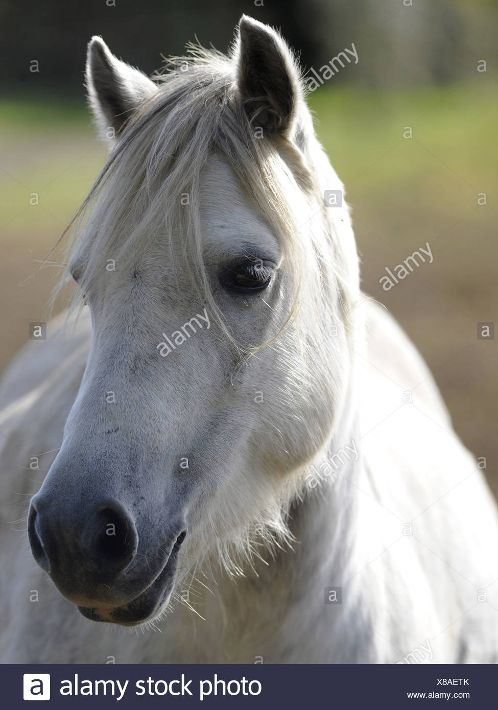 A wild welsh pony on the Brecon Beacons. - Stock Image