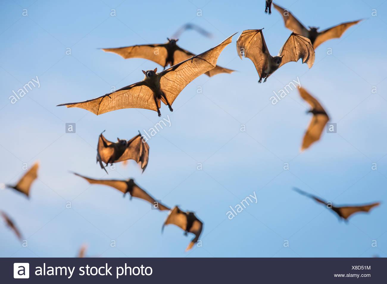 Mass of Straw-coloured fruit bat (Eidolon helvum) in flight, Kasanka National Park, Zambia. - Stock Image
