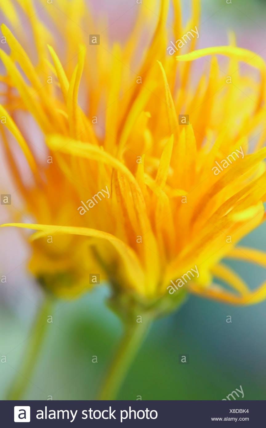 Chrysanthemum 'Saga Nishiki' Chrysanthemum - Stock Image