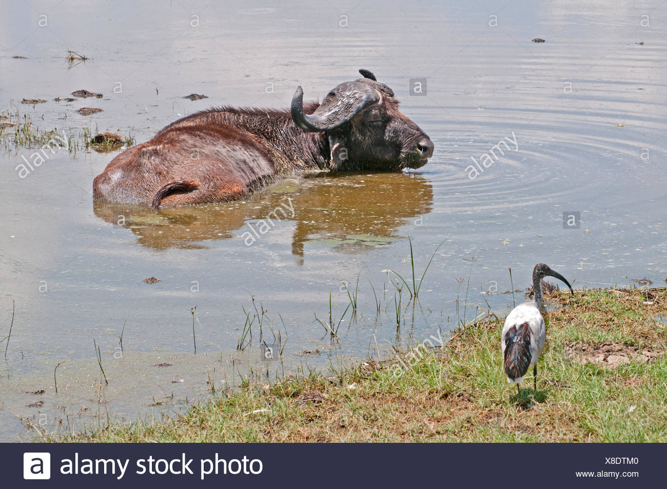 African Bufallo SYNCHERUS CAFFER wallowing in shallow water at edge of Lake Nakuru in National Park Kenya East Africa  AFRICAN B - Stock Image