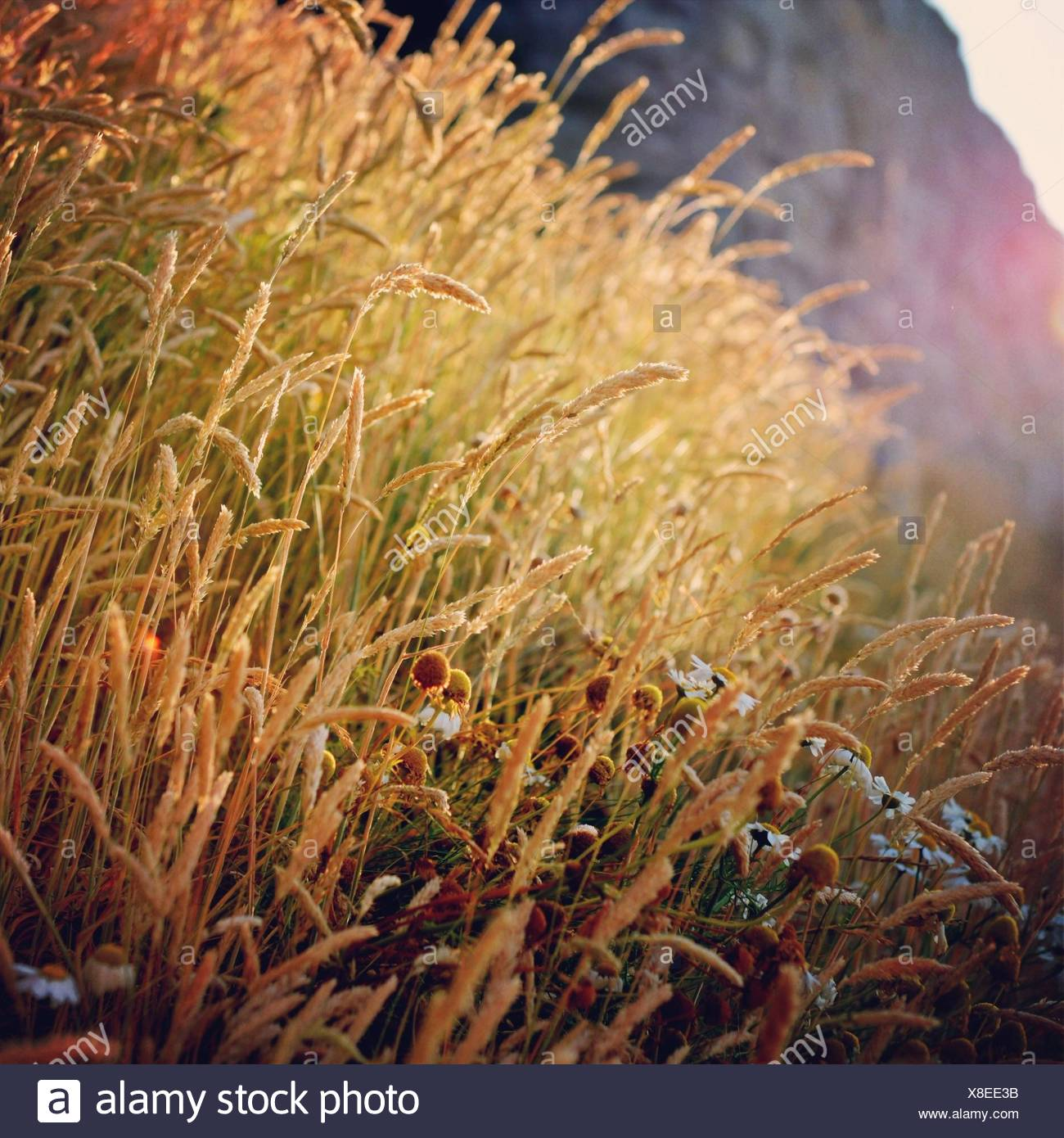 Close-up of feather grass reeds - Stock Image
