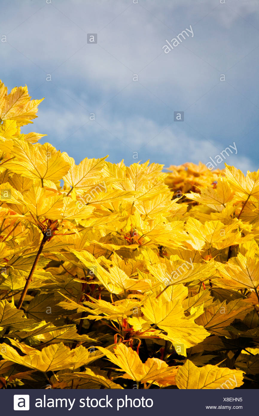 Yellow Maple Leaves - Stock Image