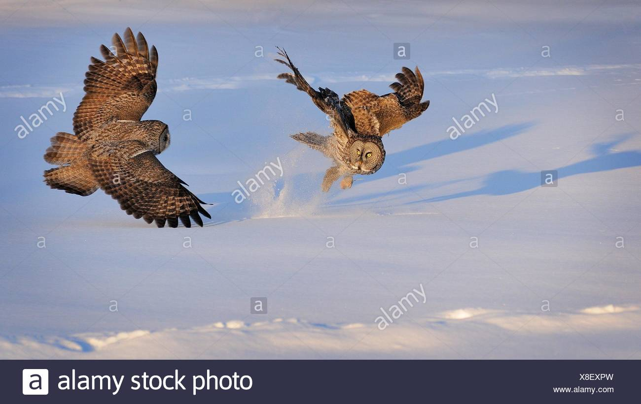 Two great Grey Owls fighting, Montreal, Quebec, Canada - Stock Image