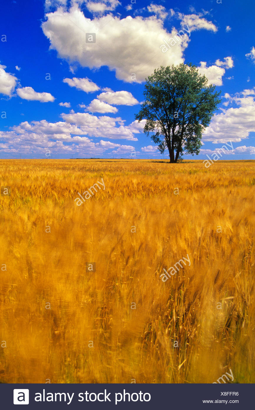 A maturing barley crop blows around in the wind with a Cottonwood tree in the background near Dugald, Manitoba, Canada - Stock Image