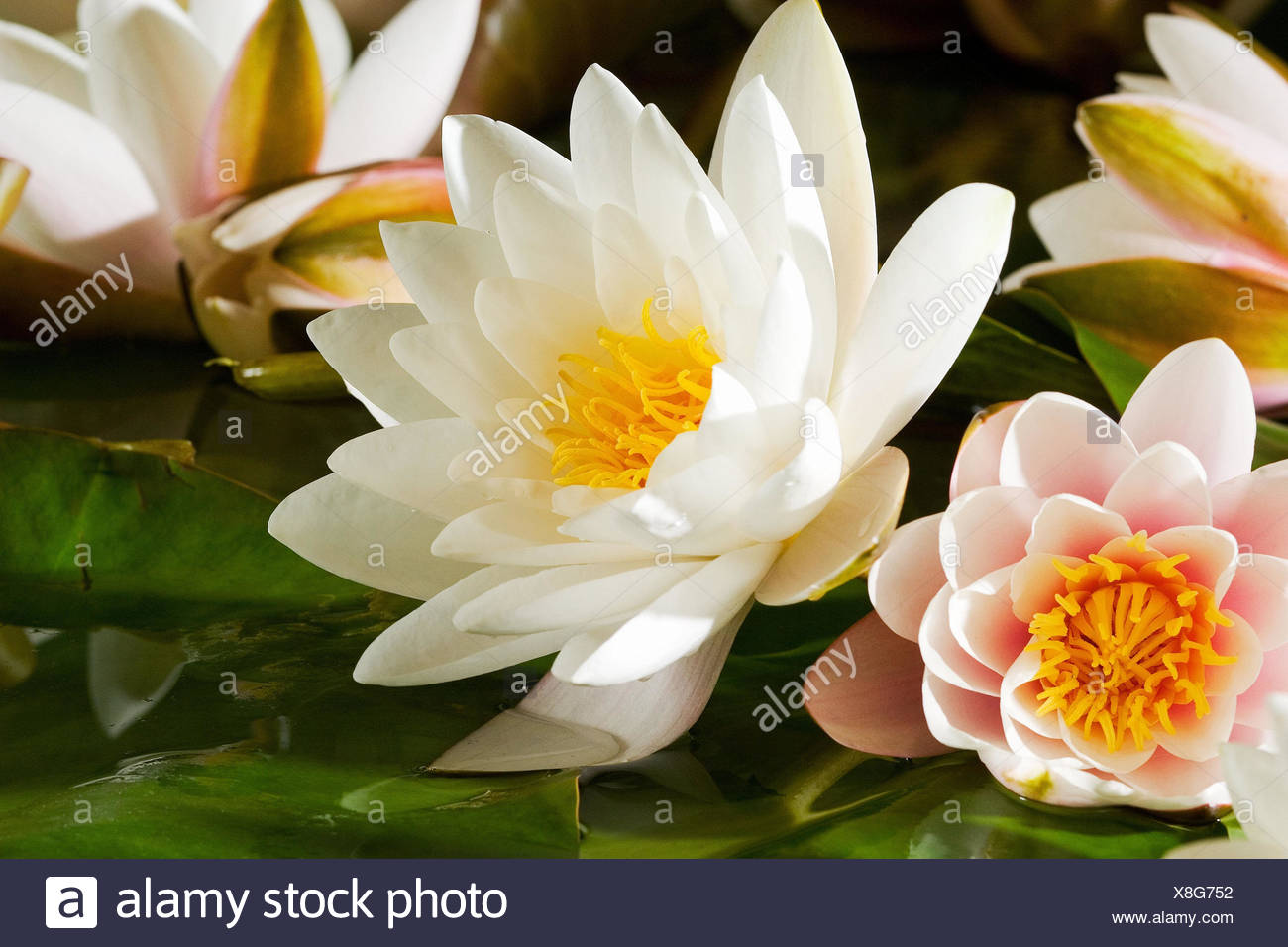 Lotus flowern water plants flowers water lotos lotos lotus flowern water plants flowers water lotos lotos lotusblumen lotuses blossoms white pink softly blossom medium close up beauty nature izmirmasajfo