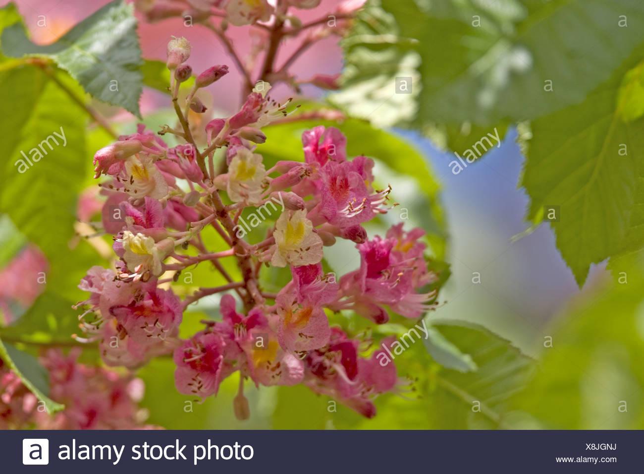 Red Horse Chestnut Pink Horse Chestnut Aesculus X Carnea