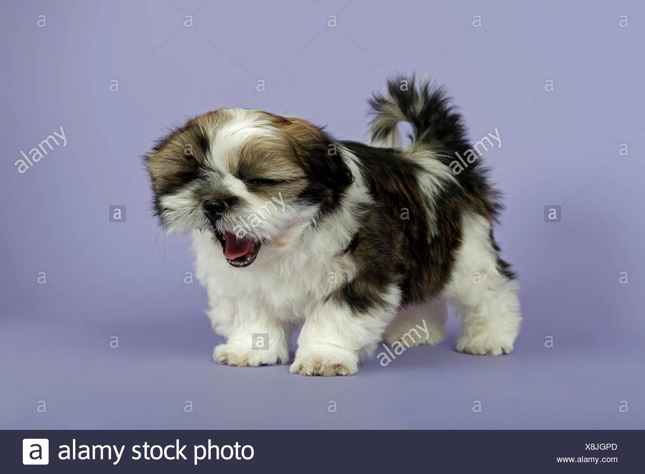 Shih Tzu Puppies 10 Weeks Gold White Stock Photo 280691445 Alamy
